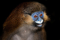 Moustached Monkey (Cercopithecus cephus), Captivity.