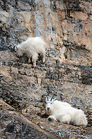 Mountain Goats, Snake River Range, Alpine, Wyoming