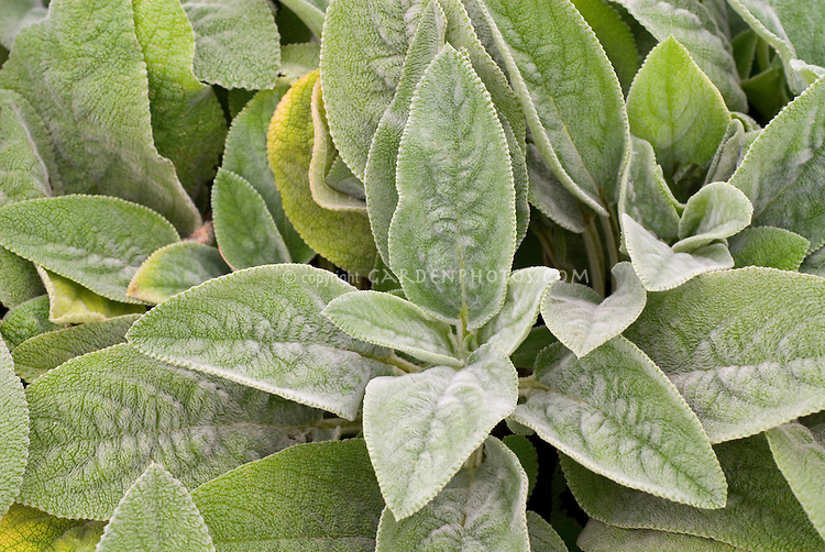 Closeup of Stachys byzantina Big Ears foliages