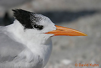 0711-0802  Royal Tern, Thalasseus maximus maximus (syn. Sterna maxima) © David Kuhn/Dwight Kuhn Photography