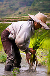 PHILIPPINES (Banaue, Province of Ifugao). 2009. Woman working in her rice field near Banaue.