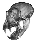 X-ray image of an open vervet monkey skull and jaw (angled, black on white) by Jim Wehtje, specialist in x-ray art and design images.