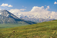 Grizzly bear walks across the tundra, clouds partly obscure Denali in the distance, Denali National Park, Alaska,