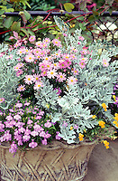 "Container garden with flowers and foliage, Aster, Lobelia, Tanasetum dusty miller, Viola, pretty concrete ""wicker"" container planter urn in pink and silver color theme, touch of yellow gold"