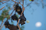 The moon with fruitbats or spectacled flying foxes (Pteropus conspicillatus) in the foreground.
