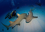 Bahamas, Sharks and dolphins, Lemon Sharks (Negaprion brevirostris)