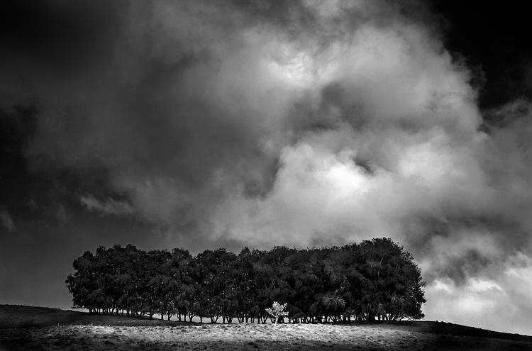 Row of trees in the pastoral Kohala Mountains region on the Big Island of Hawai'i, USA