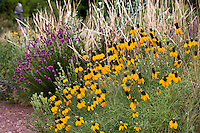 Ratibida columnifera - Mexican Hat, yellow flower drought tolerant meadow plant with grass, Nassella (Stipa) viridula in Denver Botanic Garden