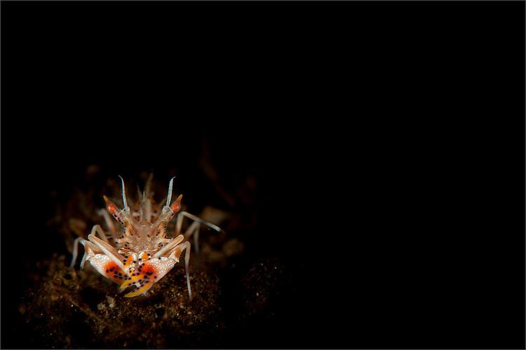 Spiny tiger shrimp (Phyllognathia ceratophthalmus), amongst volcanic sand, Tulamben, Bali