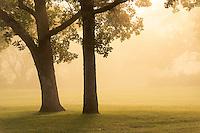 Golden sunlight illuminates a pair of oak trees in fog at sunrise.