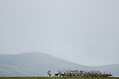 Herd of one of Europe's last wild Reindeer (Rangifer tarandus), Dovrefjell National Park, Norway