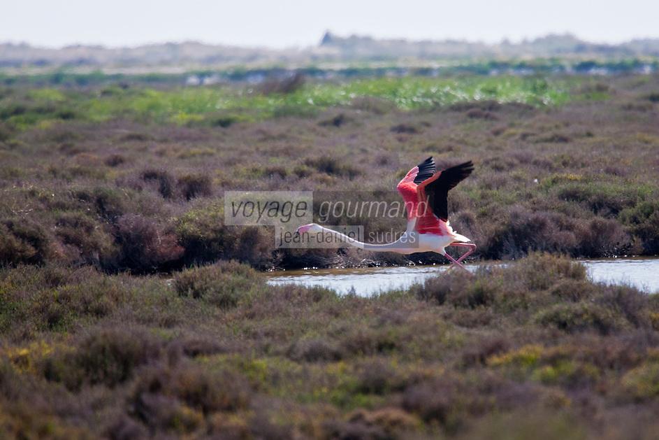 France/13/Bouches du Rhone/Camargue/Parc Naturel Régionnal de Camargue/Arles/Env de  Salin-de-Giraud: Flamant rose