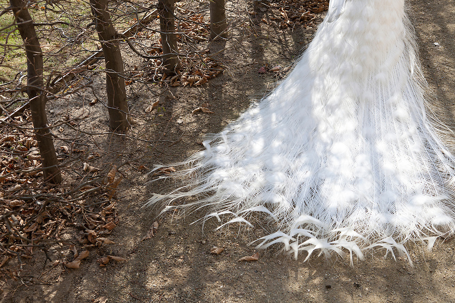Tail feathers of a white peacock in the gardens of Wallenstein Palace (Czech: Valdštejnský palác), a Baroque palace built from 1623  in Malá Strana, Prague, currently the home of the Czech Senate, Czech Republic, Europe