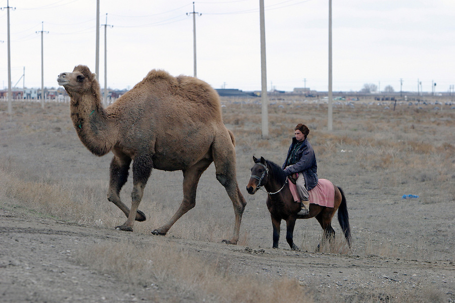 Atyrau, Kazakhstan, 15/11/2003..A camel herder and camels cross the main road at the edge of the city.