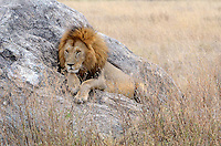 Male Lion Serengeti Africa