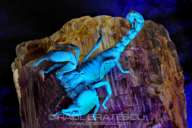 Emperor or Imperial Scorpion (Pandinus imperator) are widely distributed through West Africa