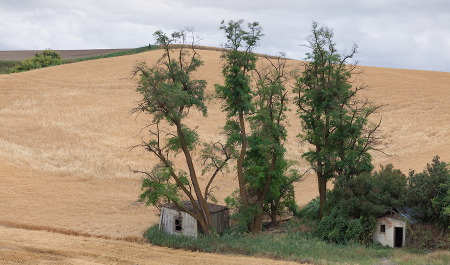 Two buildings are overgrown with trees and brush, surrounded by a large wheat field in the Palouse of Eastern Washington.