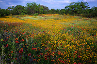 Due to record breaking fall and winter rainfall, this year found a bumper crop of wildflowers in the Texas Hill Country. I was happily surprised when I came across this stunning field of wildflowers yellow daisy and Indian Blanket Firewheels (Gaillardia) in Burnet County, Texas Hill Country - Stock Image.