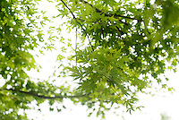 Maple leaves, Kamikatsu, Katsuura, Tokushima Prefecture, Japan, July 7, 2014. The Irodori Project is based in the mountain town of Kamikatsu, Tokushima Prefecture. Farmers - many of them elderly - grow leaves and flowers to use to decorate Japanese food in restaurants and hotels across the nation.