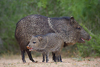 650520314 wild javelinas or collared peccaries dicolytes tajacu forage near a waterhole on santa clara ranch in starr county rio grande valley texas united states