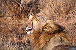 Africa, South Africa, Madikwe Game Reserve. A male lion roars a yawn and shows his teeth.