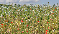 A crop of pharmaceutical poppies growing in an Oxfordshire field with wild poppies and other wildflowers.