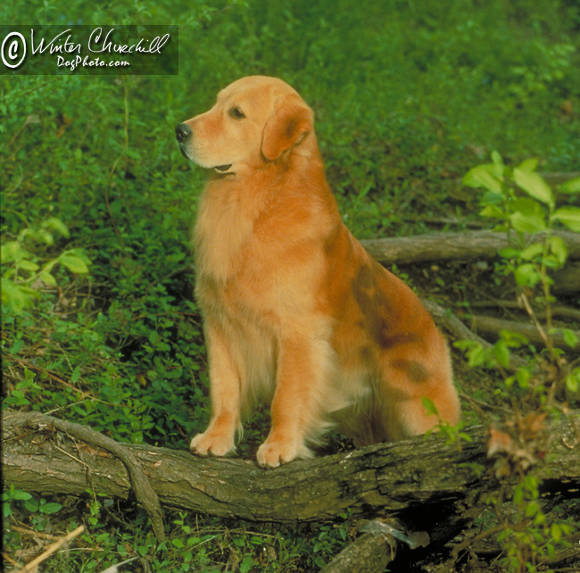Golden Retriever<br /> <br /> Shopping cart has 3 Tabs:<br /> <br /> 1) Rights-Managed downloads for Commercial Use<br /> <br /> 2) Print sizes from wallet to 20x30<br /> <br /> 3) Merchandise items like T-shirts and refrigerator magnets