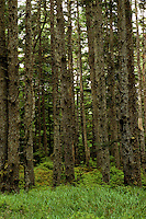 Queen Charlotte Islands (Haida Gwaii), Northern BC, British Columbia, Canada - Moss Covered Sitka Spruce (Picea sitchensis) Trees in Temperate Rainforest on Graham Island