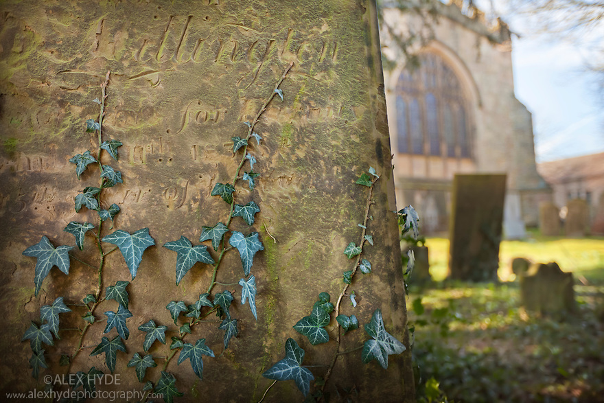 Ivy {Hedera helix} climbing up gravestone in churchyard. Peak District National Park, Derbyshire, UK. March.