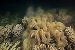 Leather coral (Sarcophyton sp.)spawning during the annual 'mass' coral spawning event, 4 to 5 days after the full moon in November in the Great Barrier Reef where many colonies and species of coral polyps simultaneously release egg and sperm bundles for external fertilisation.