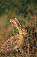 650228057 a wild black-tailed jackrabbit lepus californicus sits in wild grasses in a field in the lower rio grande valley of south texas united states