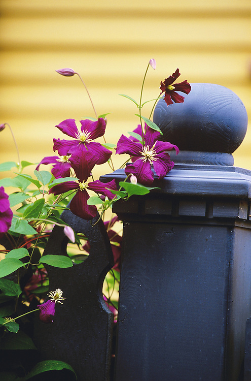 Clematis growing on fencepost in old Strathcona neighborhood of Vancouver, BC.