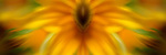 mirrored image of a yellow/orange rudbeckia flower