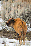 A bison calf looks back at the photographer in Yellowstone National Park in Wyoming, USA, on Feb 5Th 2015. Photo by Gus Curtis.