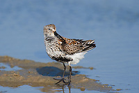 520940007 a wild breeding plumage dunlin alpina hudsonia forages along the shoreline on south padre island off the texas coast