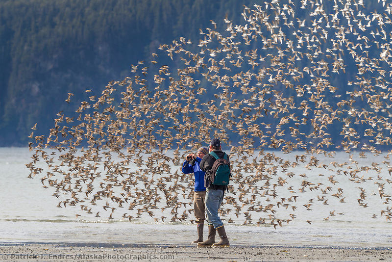Birders watch as a flock of western sandpipers fly by during the spring migration along the shores of Hartney bay in eastern Prince William Sound, southcentral, Alaska.