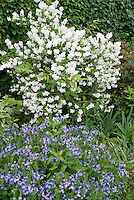 Philadelphus coronarius shrub in white spring fragrant bloom with Amsonia Blue Ice in blue flowers
