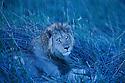 Botswana, Okavango Delta, Moremi Game Reserve,  male lion (Panthera leo) lying in grass at dusk