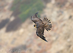 Peregrine Falcon (Falco peregrinus) , juvenile plumage female, calling in flight, California, USA