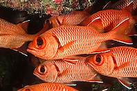 bigscale soldierfish or blotcheye soldierfish, Myripristis berndti, Kailua Bay, Kona Coast, Big Island, Hawaii, USA, Pacific Ocean