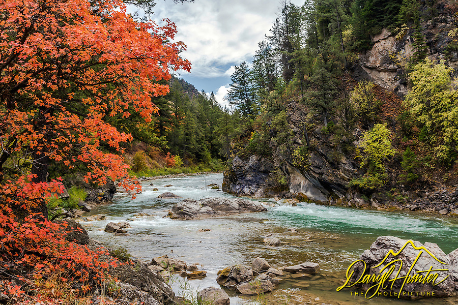 Blazing red mountain maple along the Greys River in the Wyoming Range near Alpine Wyoming