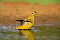 580980031 a wild female summer tanager piranga rubra bathes in a small pond at laguna seca ranch in the rio grande valley of south texas