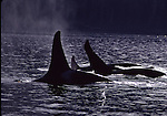 Orcas in Johnstone Strait, BC