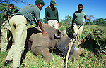 KZN Wildlife game capture team capturing black rhino, Mkhuze reserve, South Africa