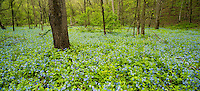 Bluebells (Mertensia virginica) carpet the forest floor in Carley State Park in springtime.