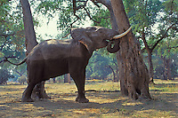 African elephant (Loxodonata africana) bull shaking acacia tree to dislodge seedpods which it will then pickup off ground and eat.  Mana Pools National Park, Zimbabwe.  Should it find that it can push the tree over it will do so and eat pods, limbs and leaves.  (Also see 3ME971)..