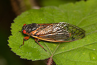 An adult 17-year periodical cicada (Magicicada septendecim) perches on vegetation after emerging from its 17 year underground nymphal stage.  Brood II 17-year periodical cicadas emerged to breed in the spring of 2013 after last being seen in 1996.