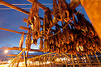 Cod being dried on wooden rafters..The Lofoten is a very important fishing center, especially for the cod (skrei in Norwegian), attracted by the rich food brought by the Gulf Stream.