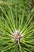 Healthy tip of Pinus thunbergii 'Thunderhead' Black Pine
