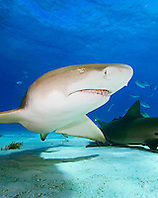 Lemon Sharks, Negaprion brevirostris, West End, Grand Bahama, Atlantic Ocean.